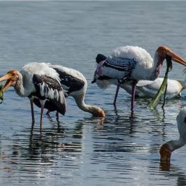 Painted Stork eats filamentous algae