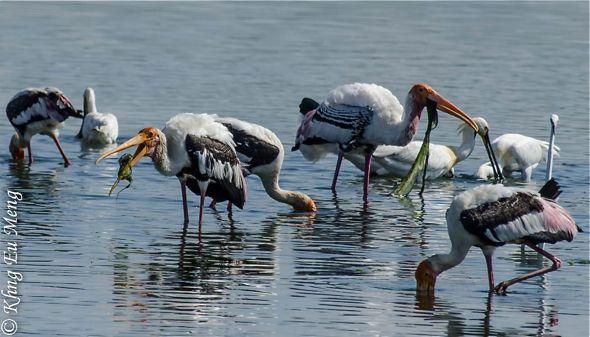 Painted Stork eats filamentous algae