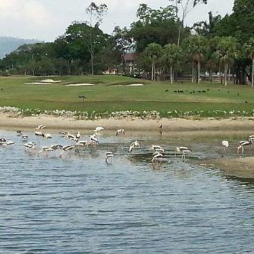 Painted Stork at the Royal Selangor Golf Club