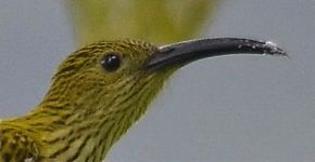 Streaked Spiderhunter catching spiders
