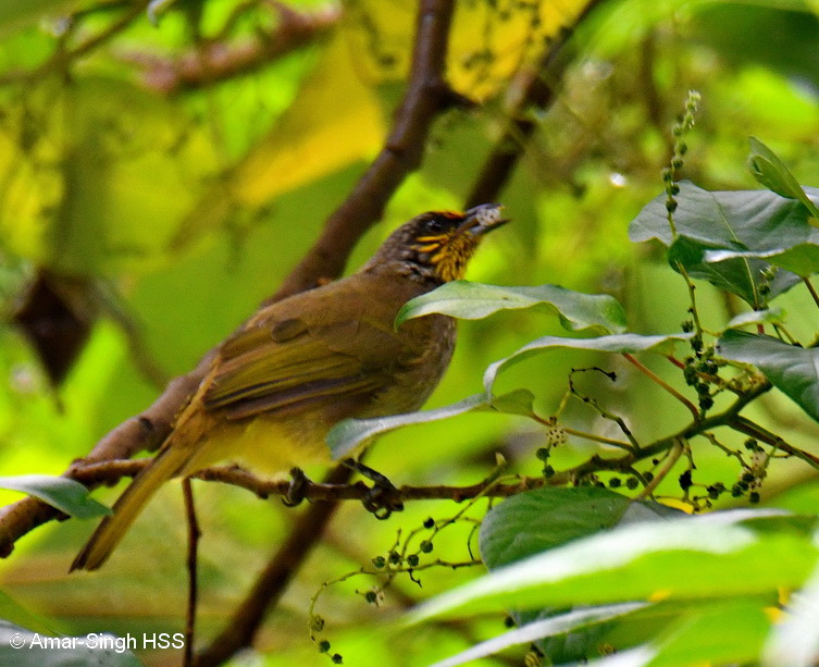 Stripe-throated Bulbul-3a-Ipoh, Perak, Malaysia-3rd September 2017