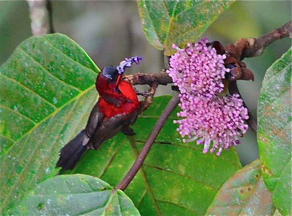 <em>Poikilospermum suaveolens</em> and birds