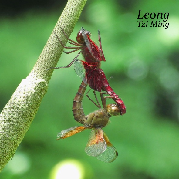 Sultan Dragonfly mating