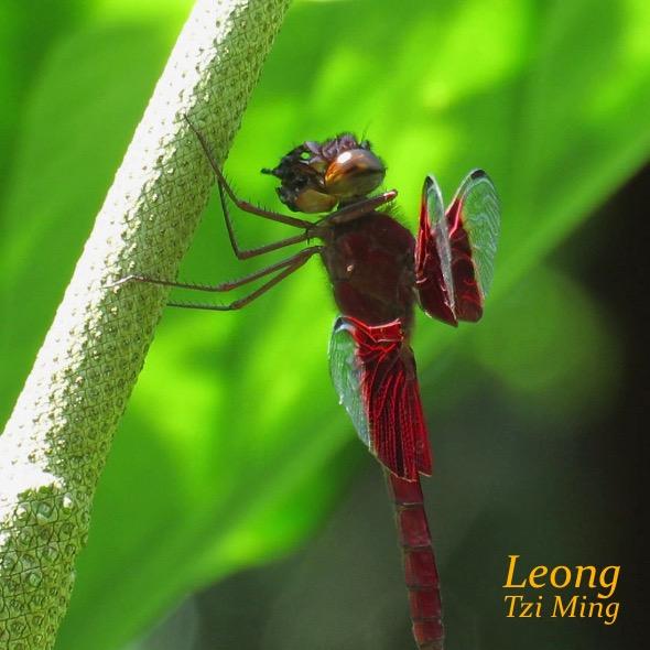 Sultan Dragonfly feeding