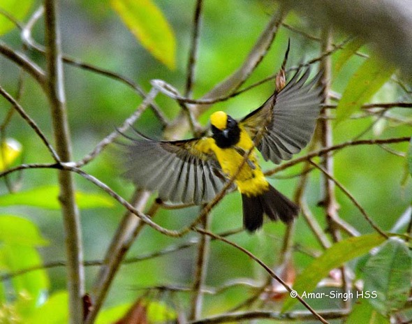 Sultan-Tit-3a-Kledang-Sayong-Forest-Reserve,-Ipoh,-Perak,-Malaysia-1st-August-2016