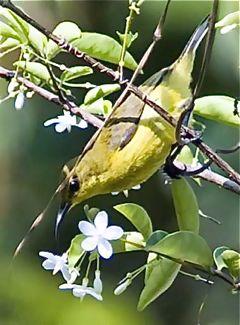 Sunbird harvests nectar from <em>Wrightia religiosa</em>