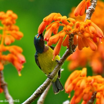 Sterculia colorata (Bonfire Tree): Nectar feeders