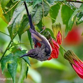 Black-throated Sunbird – immature male