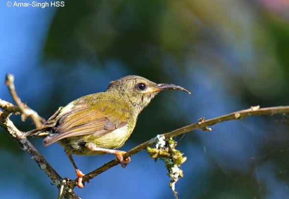 Black-throated Sunbird feeding on Lantana camara nectar