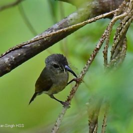 Black-throated Sunbird – female eating flowers
