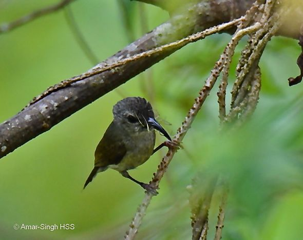 Black-throated Sunbird – female eating flowers