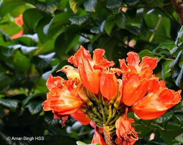 SunbirdBrTh-AfricanTulip [AmarSingh] 1