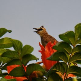Yellow Vented Bulbuls drinking nectar or eating insects from the African Tulip flowers?