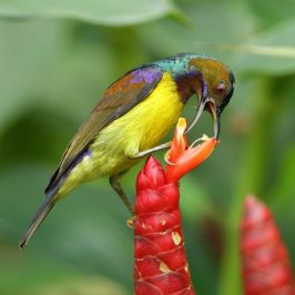 Brown-throated Sunbird and <em>Costus spicatus</em> flowers