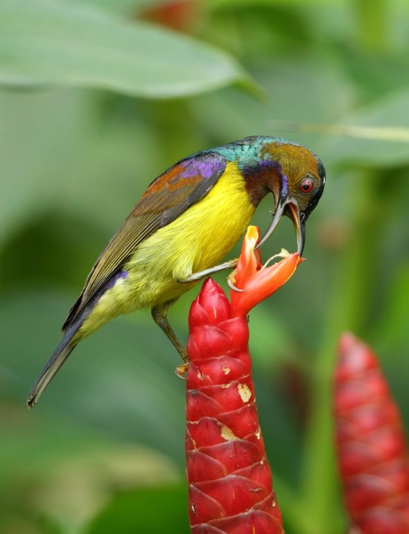 Brown-throated Sunbird and Costus spicatus flowers