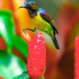 Brown-throated Sunbird dealing with <em>Costus spicatus</em> flower