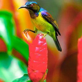 Brown-throated Sunbird dealing with <em>Costus spicatus</em> flower