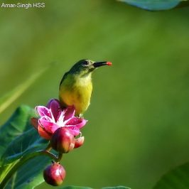Brown-throated Sunbird  feeding <em>Dillenia suffruticosa</em> seeds