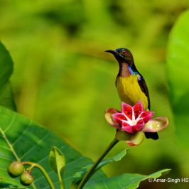 Brown-throated Sunbird – fruit feeding