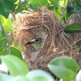 Nest of the Brown-throated Sunbird