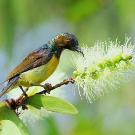 Brown-throated Sunbird takes nectar from <em>Melaleuca cajuputi</em>