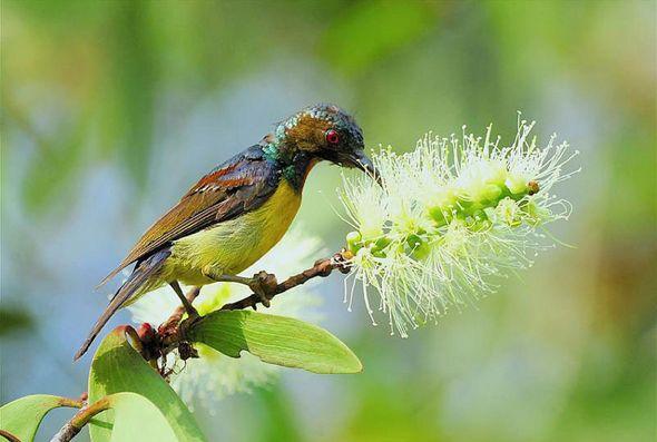 Brown-throated Sunbird takes nectar from <em>Melaleuca cajuputi</em>