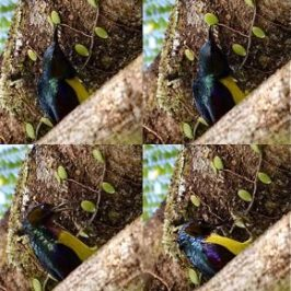 Brown-throated Sunbird – adult foraging behaviour