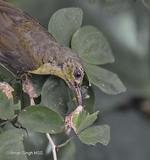 Brown-throated Sunbird – female collecting caterpillars for young