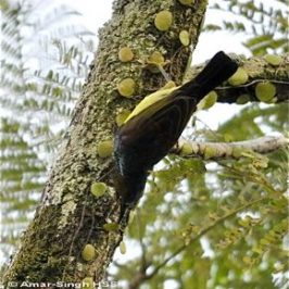 Brown-throated Sunbird foraging along a tree trunk