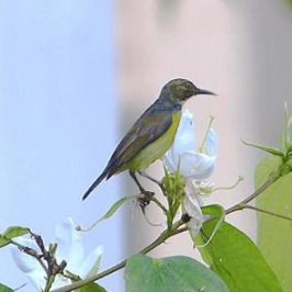 Brown-throated Sunbird sipping nectar
