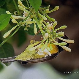 Brown-throated Sunbird Visits Male Papaya Blooms
