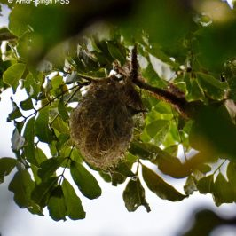 Brown-throated Sunbird – nesting