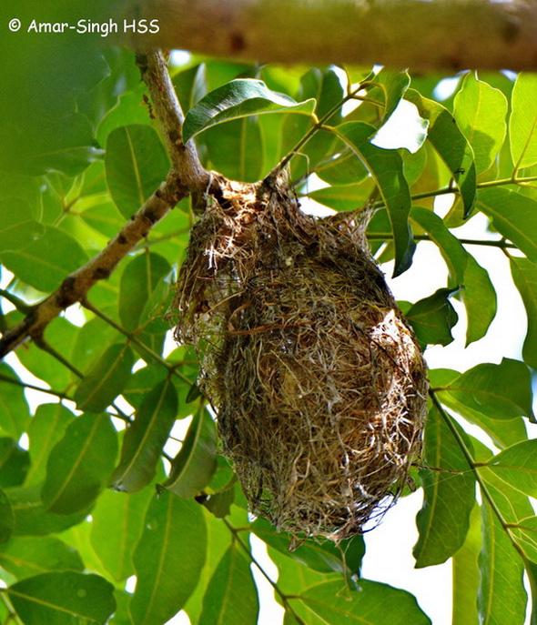 SunbirdBrTh-nest [AmarSingh] 3