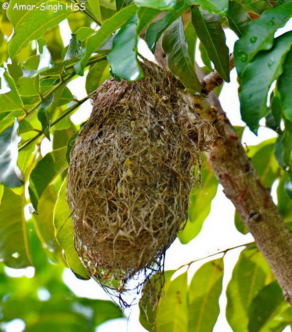 SunbirdBrTh-nest [AmarSingh]