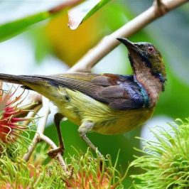 Brown-throated Sunbird feeding on <em>Nephelium lappaceum</em> fruit
