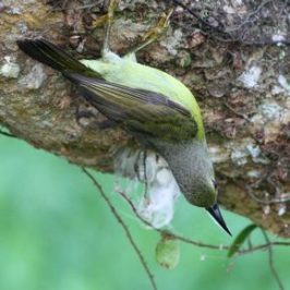 Brown-Throated Sunbird Collecting Cocoon Silk