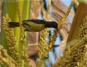 Brown-throated Sunbird harvesting nectar from coconut flowers