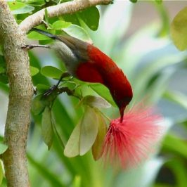 Crimson Sunbird's contact call and nectar feed