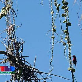 Crimson Sunbird feeding on nectar of Raffles Dischidia flowers