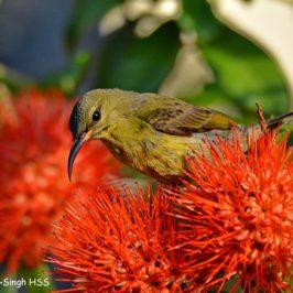 Crimson Sunbird – juvenile male feeding on <em>Combretum constrictum</em>