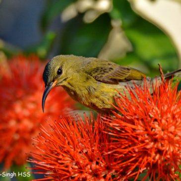 Crimson Sunbird – juvenile male feeding on Combretum constrictum