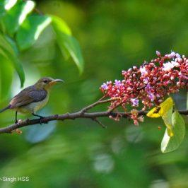 Sunbirds enjoying nectar at Starfruit Trees
