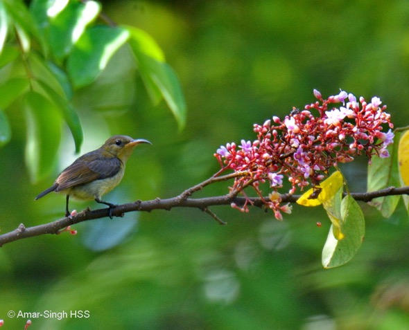 Sunbirds enjoying nectar at Starfruit Trees