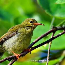 Crimson Sunbird – juvenile male feeding on Malayan Mistletoe