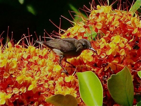 Sunbirds love Saraca flowers