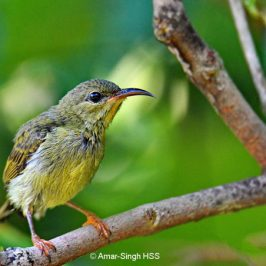 Crimson Sunbird  – juvenile male plumage progression