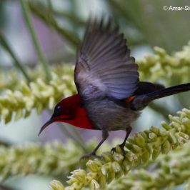 Crimson Sunbird: Plumage and new food source