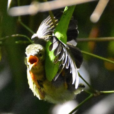 Copper-throated Sunbird fledgling eaten by a whip snake