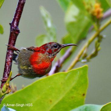 Crimson Sunbird…