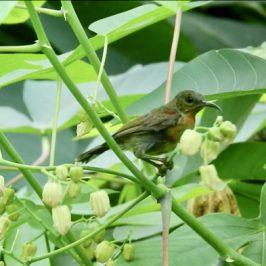 Crimson Sunbird robbing nectar from Tapioca flowers